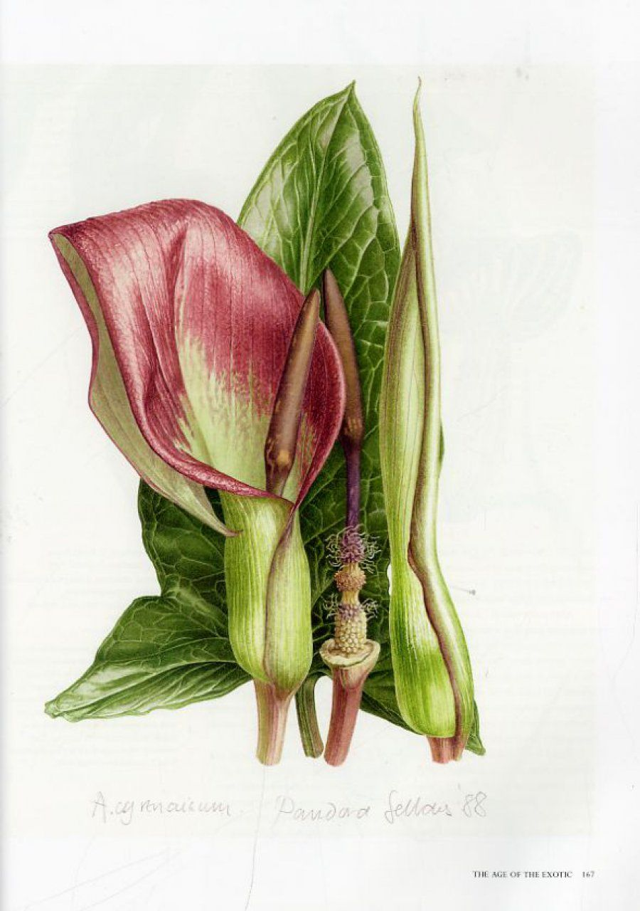 Pandora Sellars Botanical Painting Botanical Art Botanical