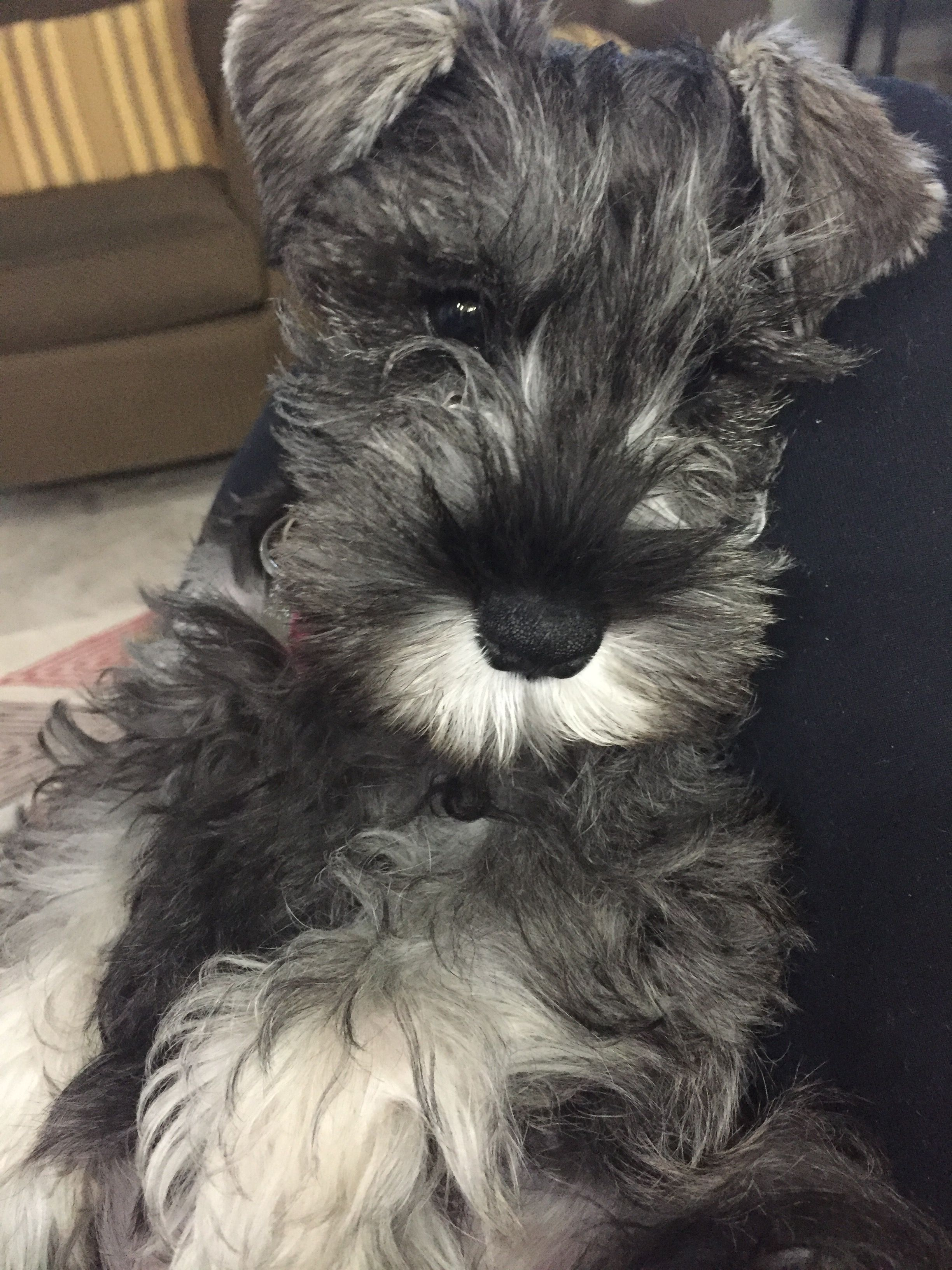 On My Way Home To My Little Schnauzer Haven T Seen Him For A Couple Days Hopefully He Forgives Me Miniature Dog Breeds Schnauzer Puppy Cute Animal Pictures