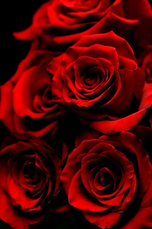 صور ورود أجمل صور خلفيات ورد للهاتف أجمل الورود الطبيعية Red Roses Wallpaper Rose Wallpaper Beautiful Red Roses