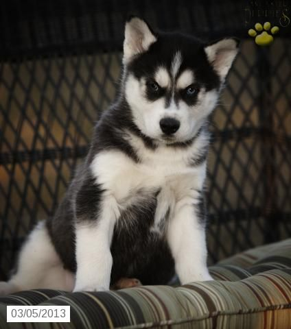 King Siberian Husky Puppy For Sale In Narvon Pa Siberian