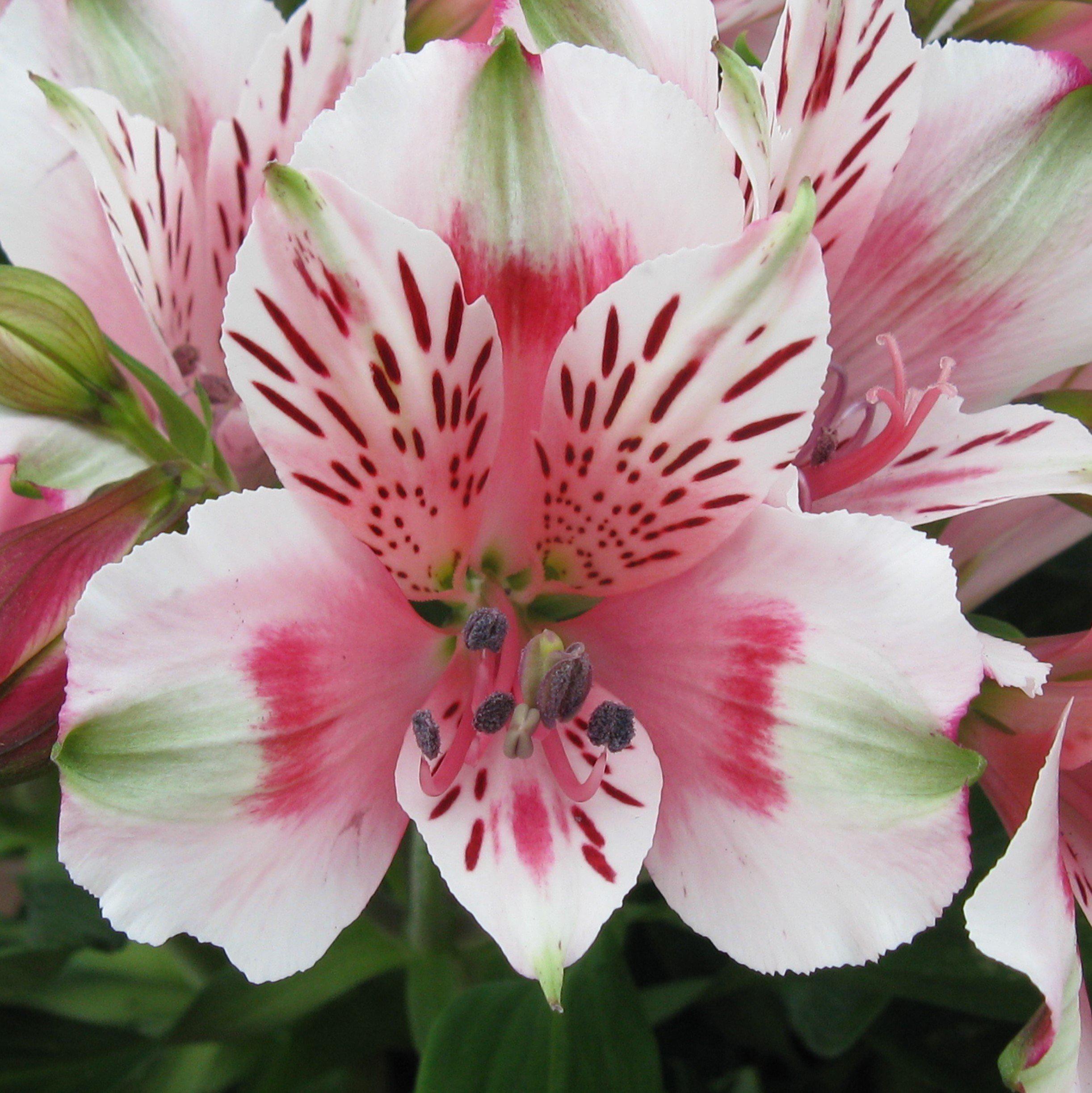 Allium Ampeloprasum Spanish Allium Flowers Perennials Easy To Grow Bulbs Flower Seeds