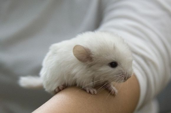 A Baby Chinchilla Cute Baby Animals Cute Animals Cool Pets