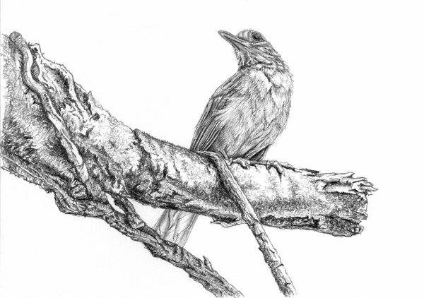 Bird · realistic pencil drawings