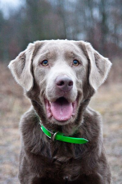 Labrador Colors Labrador Retriever Silver Labrador Retriever Labrador Retriever Training