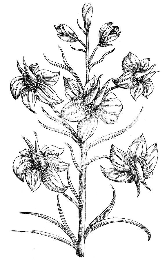 Black And White Drawing Larkspur Flower Google Search Larkspur Flower Larkspur Flower Tattoos Larkspur Tattoo