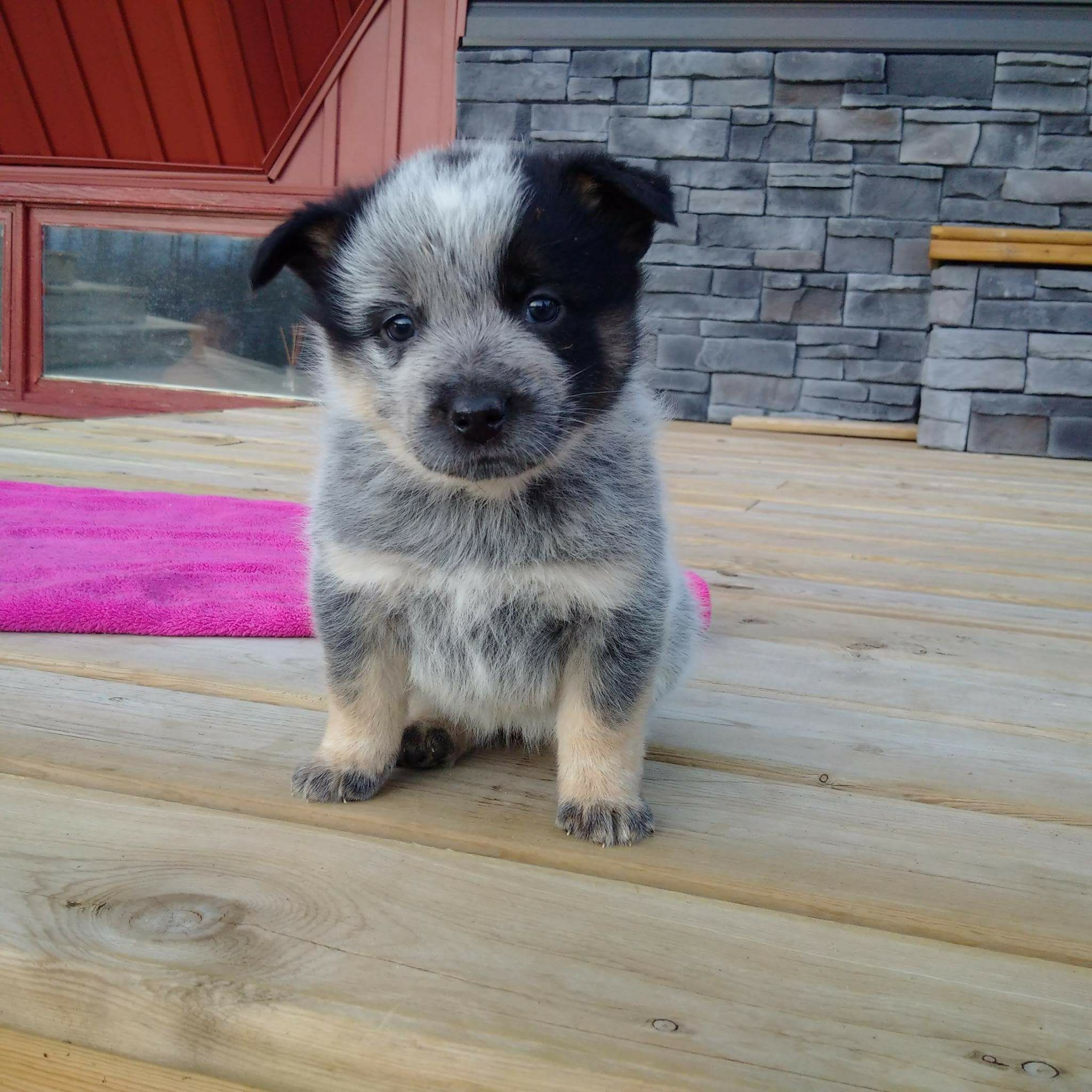 Pin By Joanna Freund On Dogs Austrailian Cattle Dog Beautiful Dogs Baby Dogs