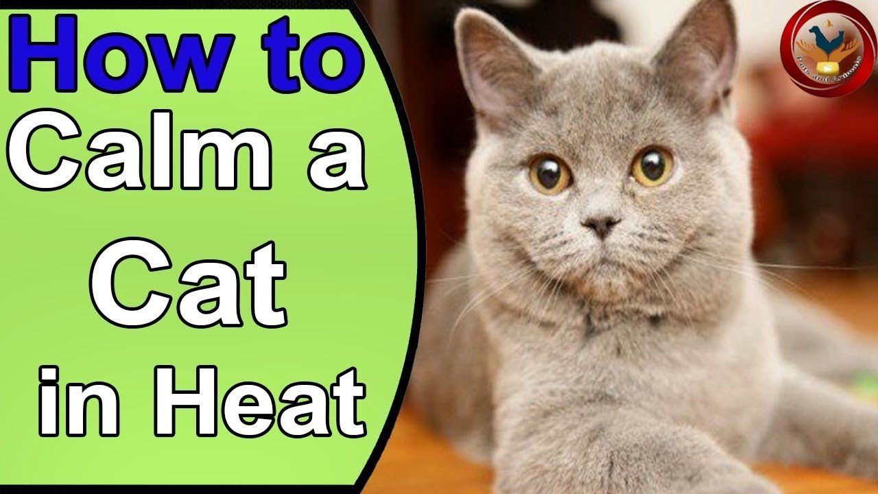 How to Calm a Cat in Heat Spaying and Other LongTerm