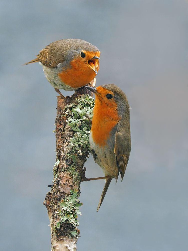 mami forum für naturfotografen  rotkehlchen vögel