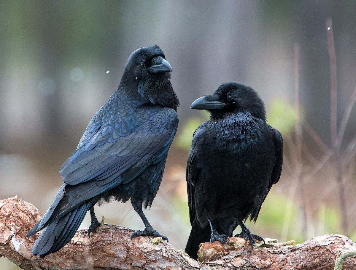 ravens by Lauri Tammik on 500px Animal facts, Fun facts