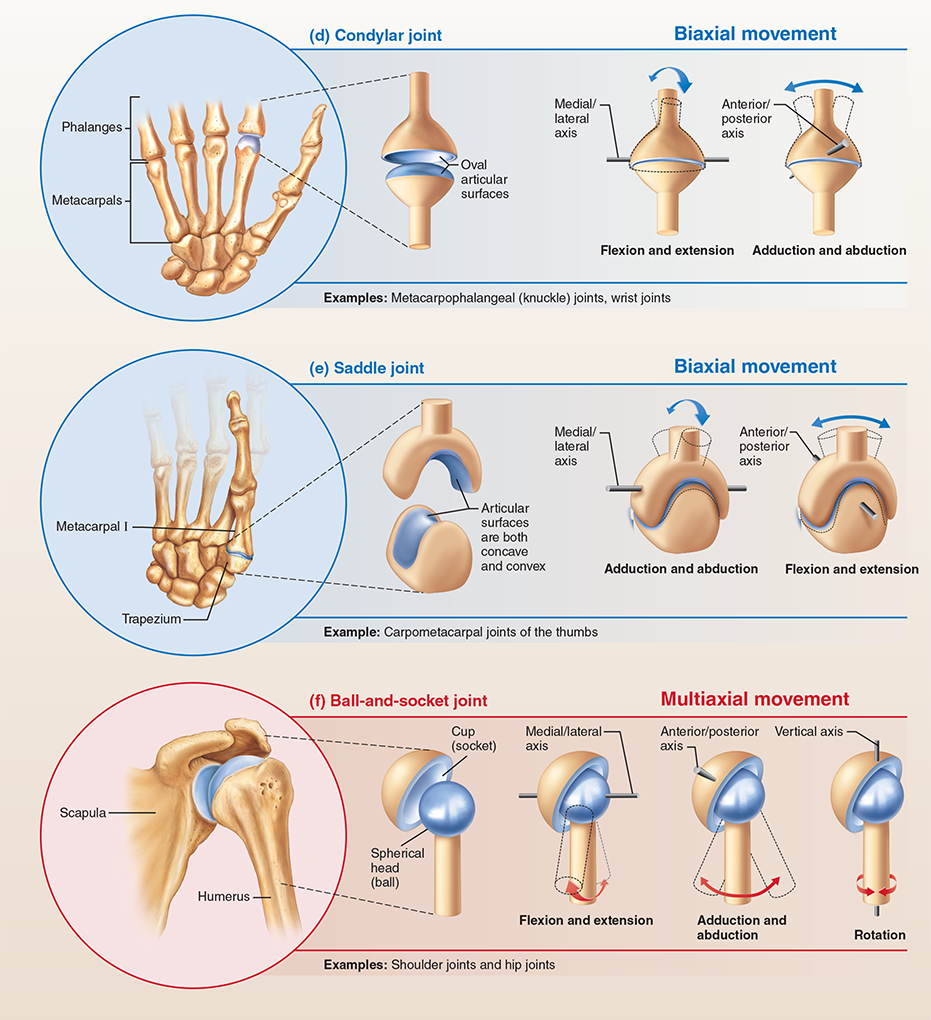 Synovial Joints   Anatomy   Pinterest   Synovial joint