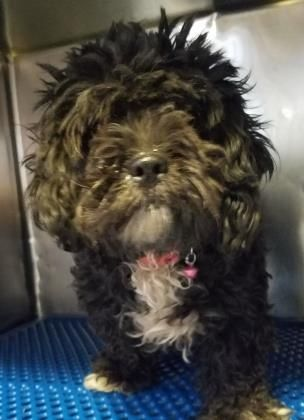 Animal Id T35870868 R Nspecies Tdog R Nbreed Tmaltese Mix R