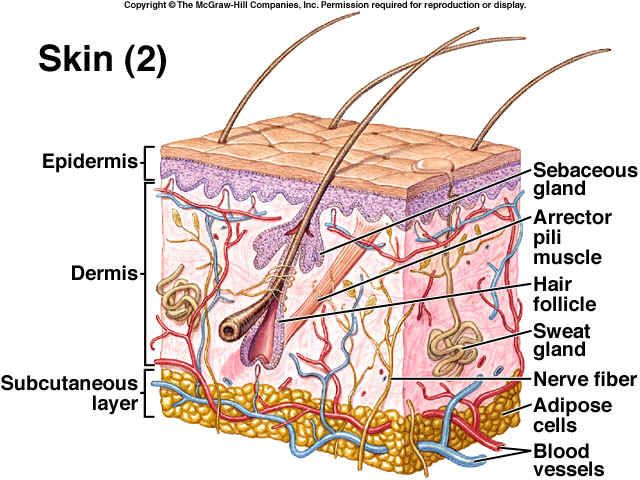 skin layers diagram labeled simple 6 pin round trailer wiring system integumentary worksheets study materials exocrine glandskin 14
