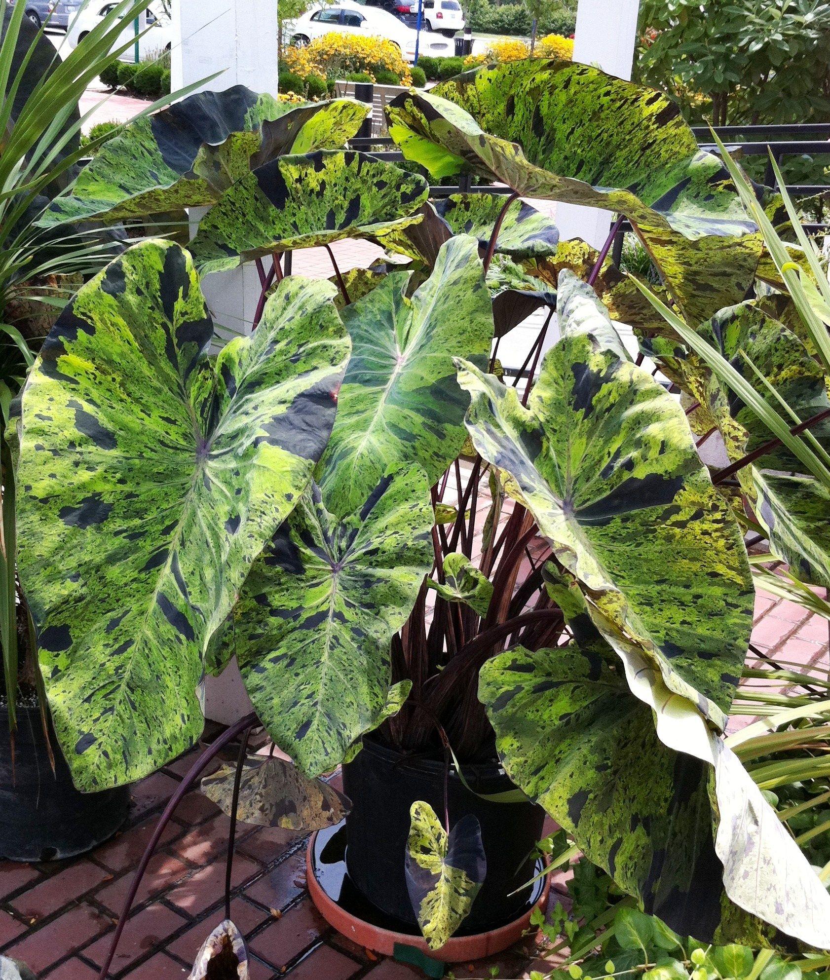 Colocasia Mojito #elephantearsandtropicals