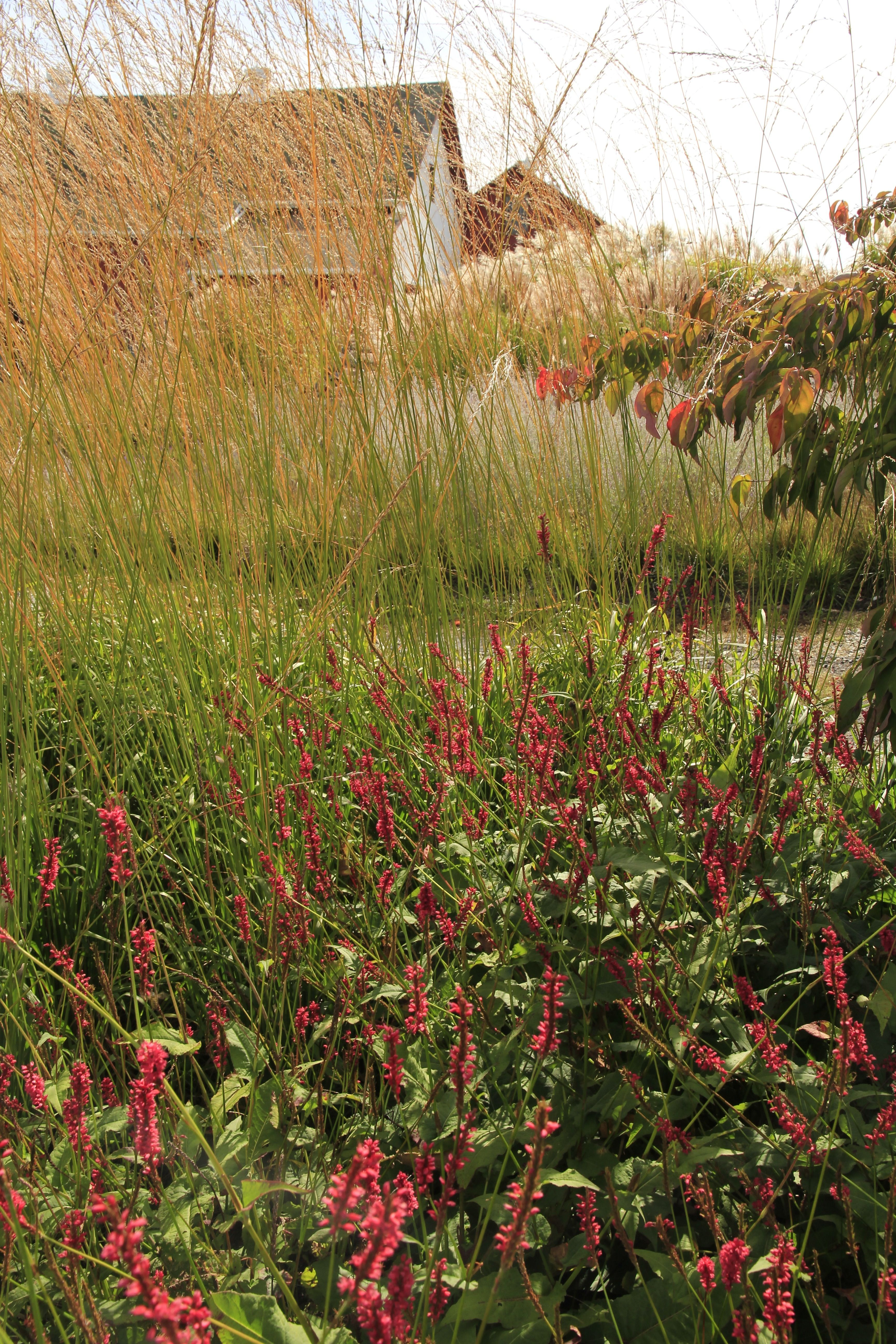 Bold fall color and composition with Persicaria amplexicaulis ...