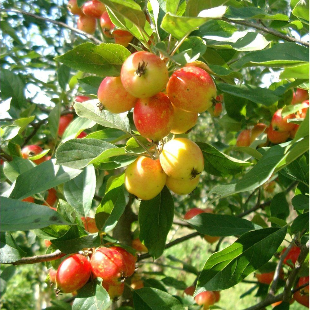 Malus 'John Downie' Tree (With images) Crabapple tree