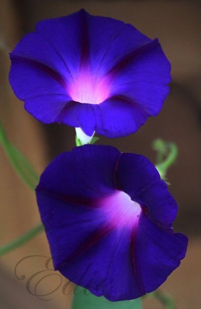 Good Morning Glory Morning Glory Flowers Unusual Flowers Amazing Flowers