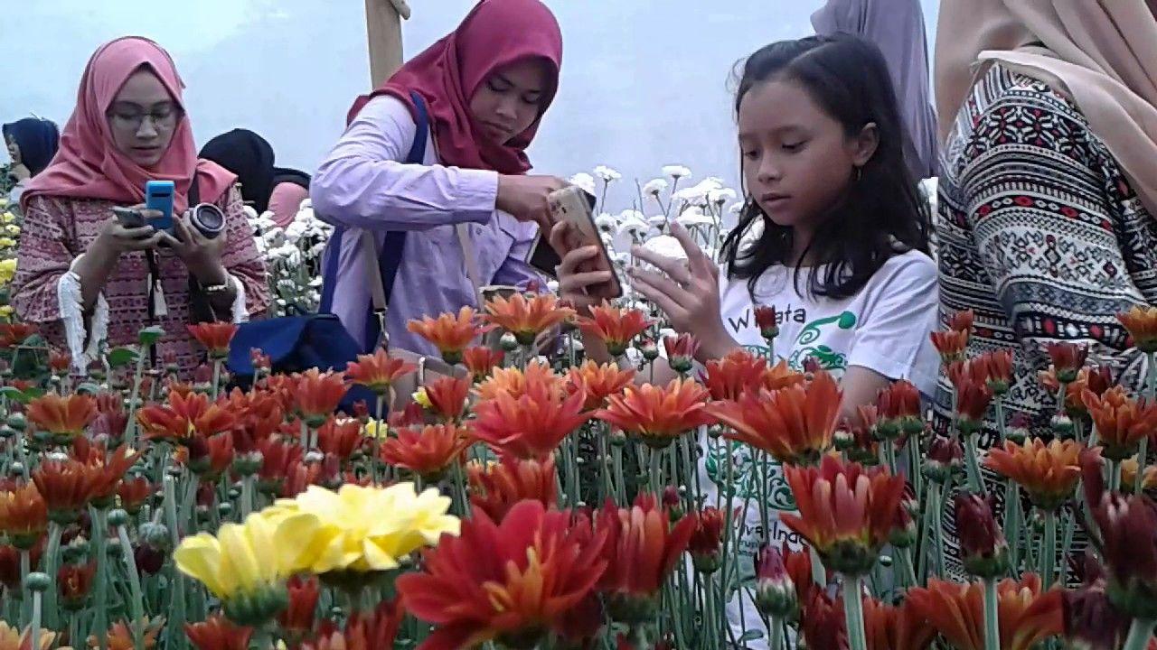 Taman Bunga Krisan Wonobodo Jawa Tengah Taman Bunga Bunga Bunga Cantik