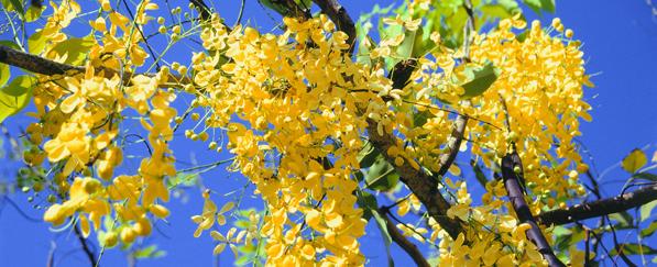 """Árbol """"Lluvia de Oro"""" típico de la región Caribe Colombiana."""