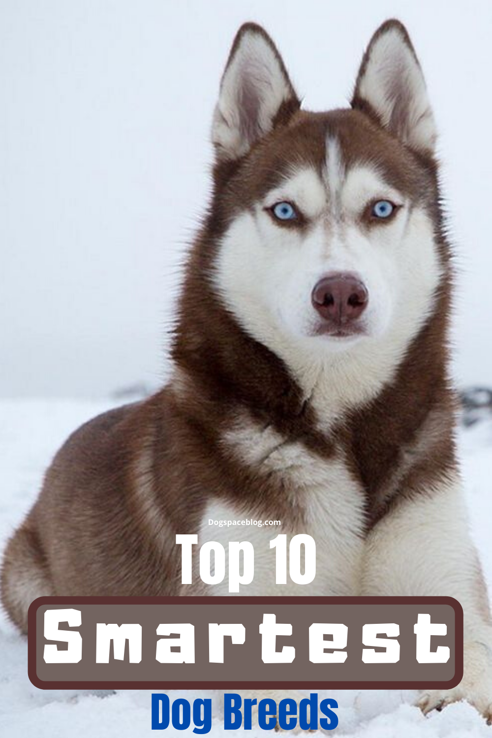 Amazing Siberian Husky: Amazing and Smart Siberian Husky ... |Smart Husky Puppy