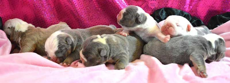 Shrinkabulls New English Bulldog Blue Lilac Puppies Litter With