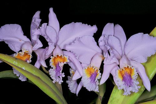 Cattleya Mossiae V Coerulea Orchids Orchidaceae Garden