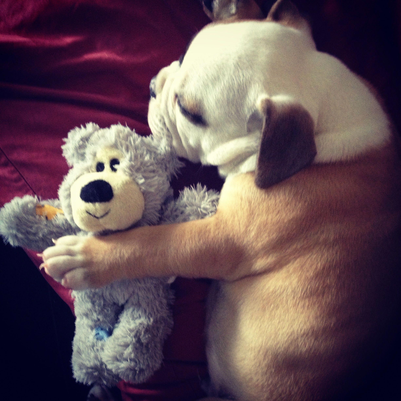 Bulldog Calm Courageous and Friendly Cute animals