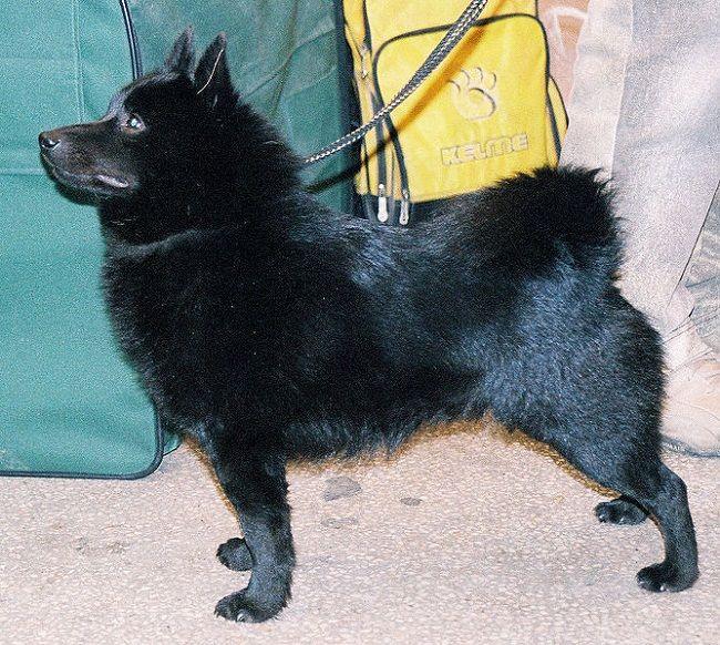 Dog Breeds Small Black Short Hair Schipperke Dog Dog Breeds Pets