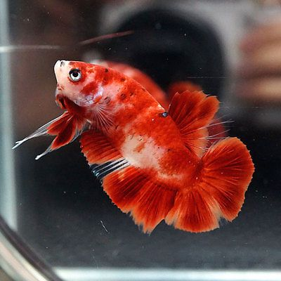 Live betta fish male fancy super red koi blue eyes for Live dragon koi fish