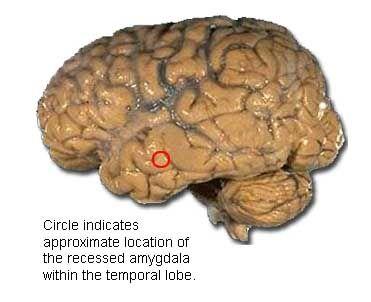 The human brain coloring book amygdala - Pesquisa Google ...