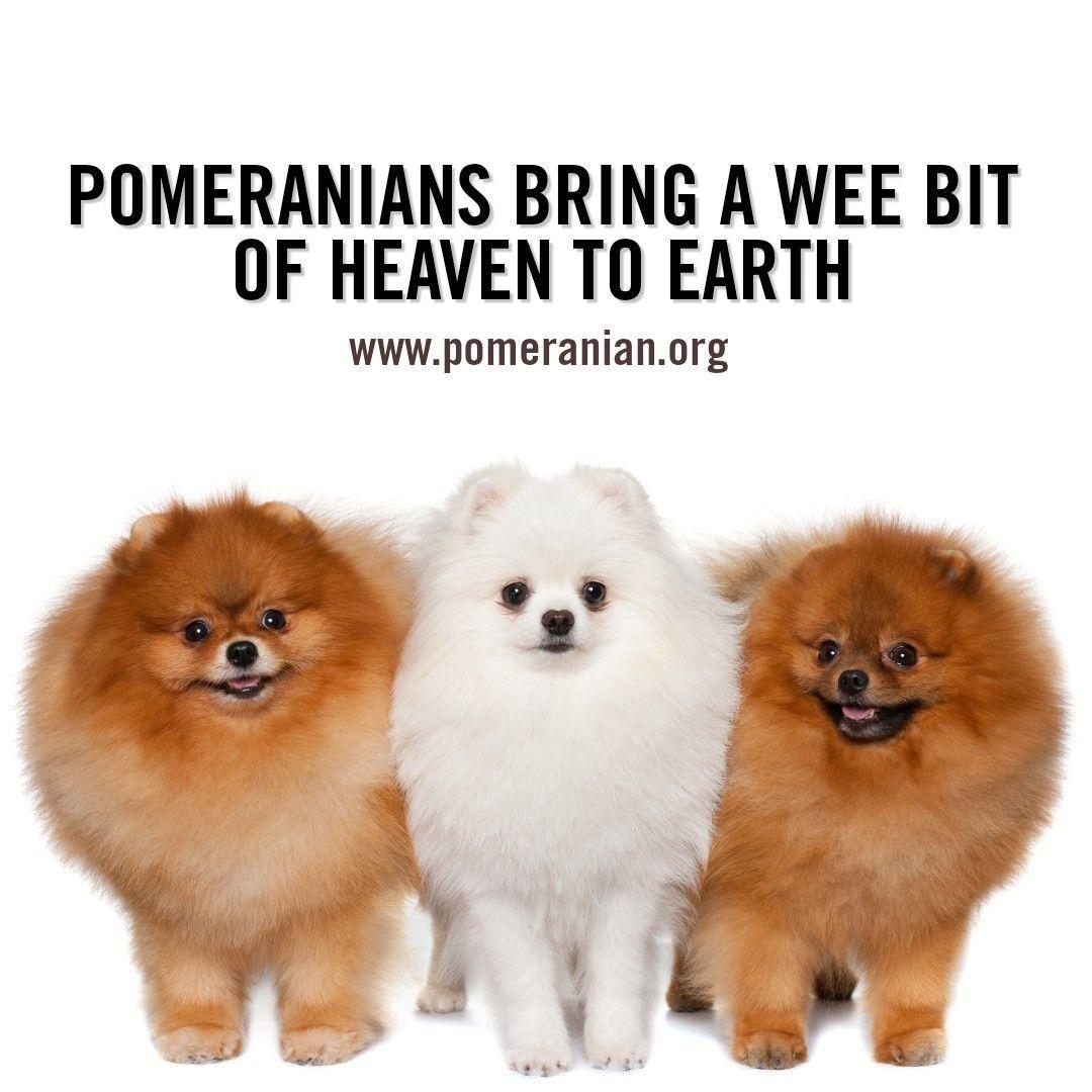 Pomeranian Pomeranian Puppy Pomeranian Facts Pomeranian