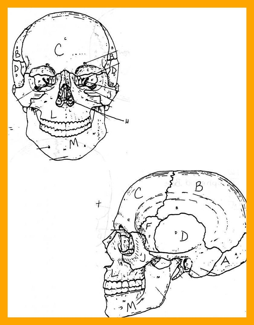 Fascinating Skull Anatomy Labeling Worksheets And Color Body ...