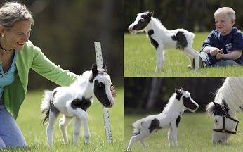 World Smallest and cutest horse Einstein
