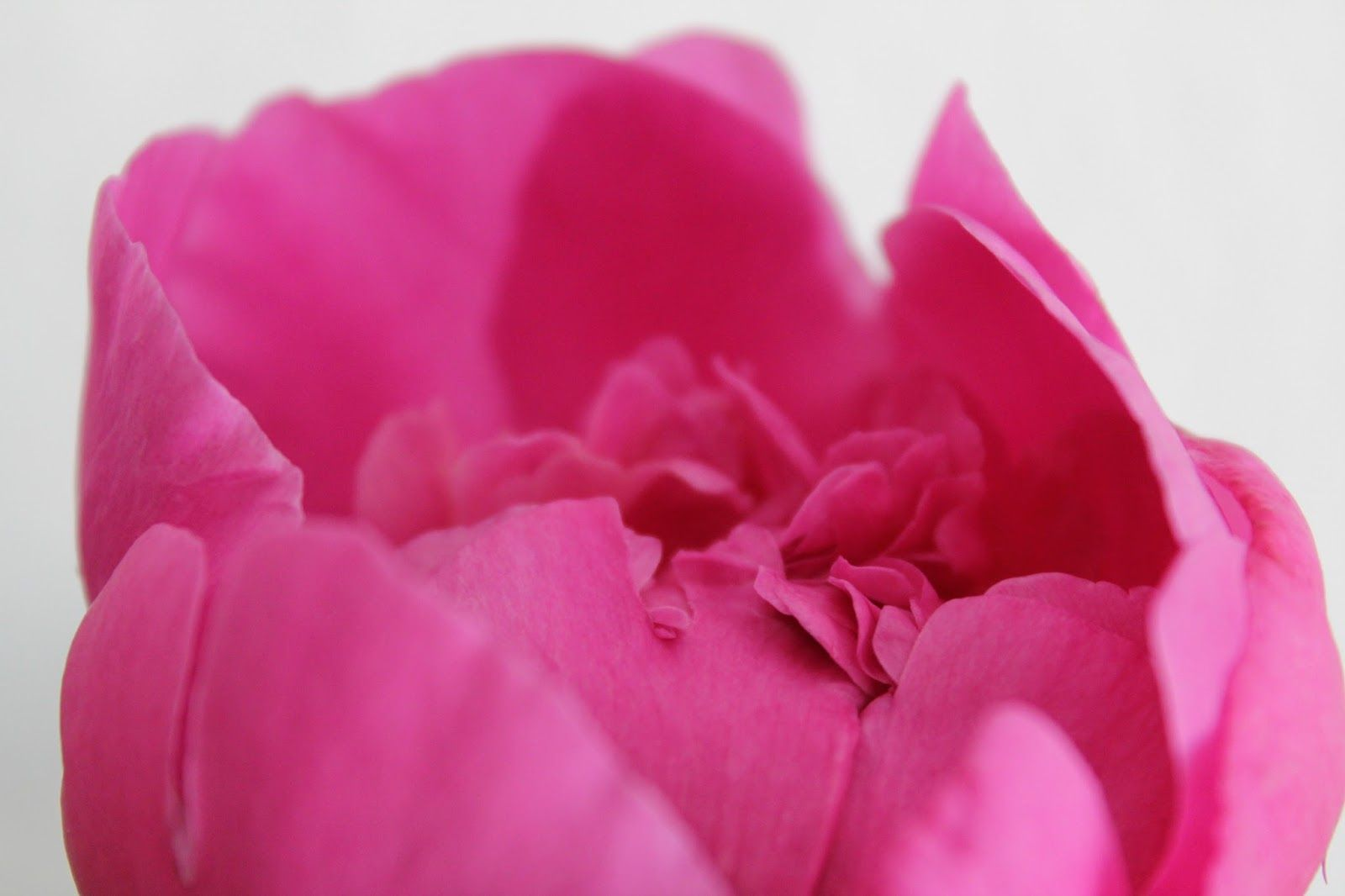 pink peonies close-up
