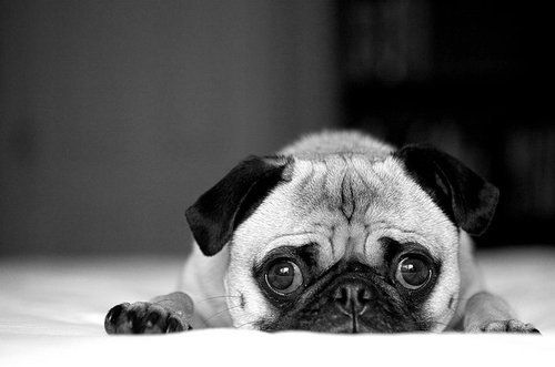 Black And White Cute Dog Photography Pug Inspiring Picture