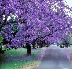 Image Result For Best Trees To Line Driveway Jacaranda Tree Purple Trees Tree