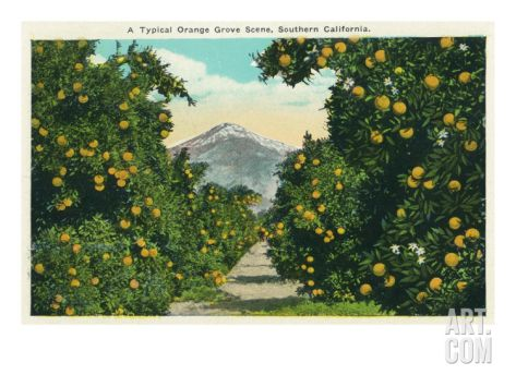 California - a Typical Orange Grove Scene in Southern California, c.1921 Art Print by Lantern Press at Art.com