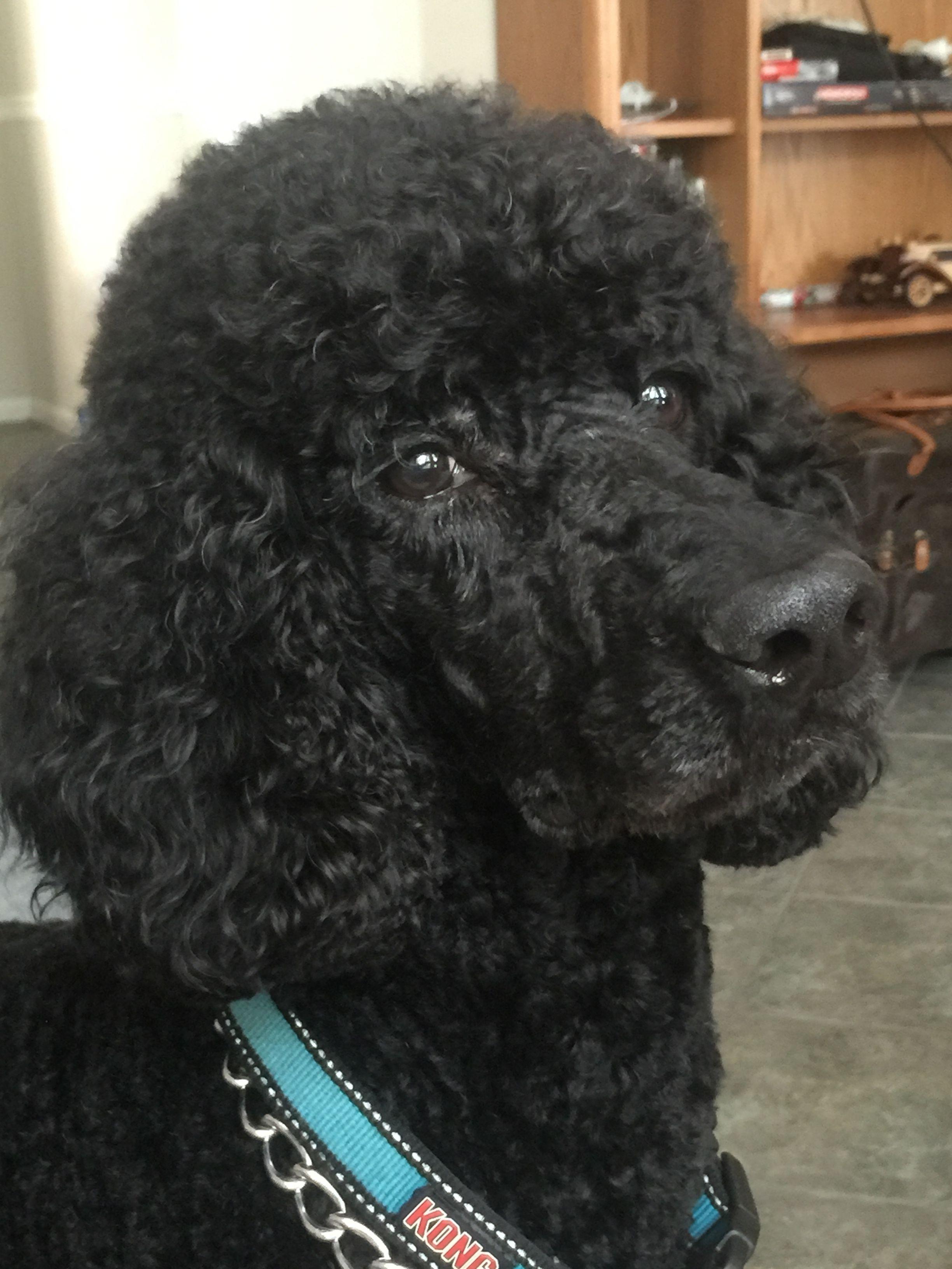 A Handsome Male Standard Poodle Black Standard Poodle Standard