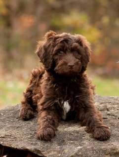 Labradoodle Puppies For Sale Labradoodle Breeders Deer Creek Labradoodles Breeder Of American A Labradoodle Breeders Labradoodle Puppies For Sale Labradoodle