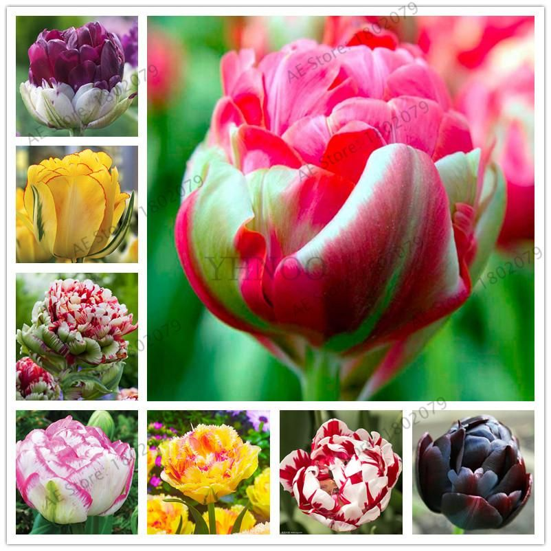 2 Pcs Rare Double Tulip Bulbs Not Tulip Seeds 24 Colors Available