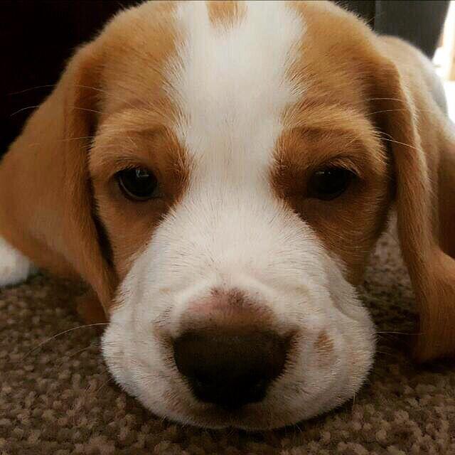 Such A Cute Face Beagle Tan And White White Beagle I Love