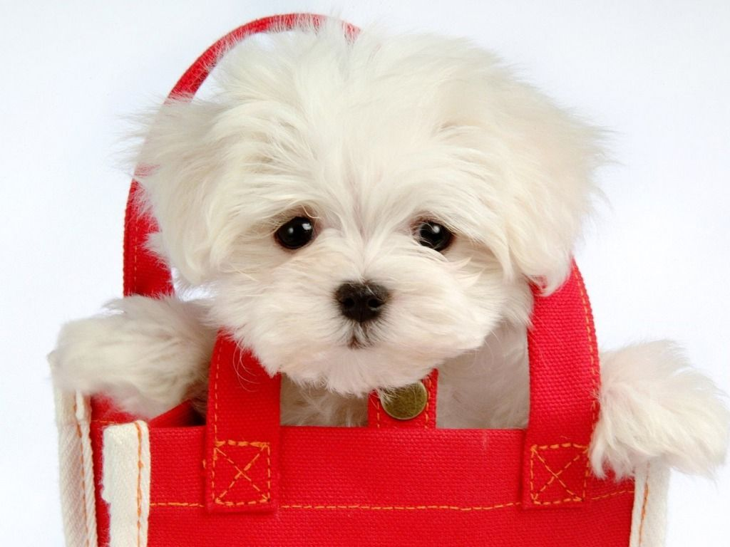 Red and white - red purse, white puppy