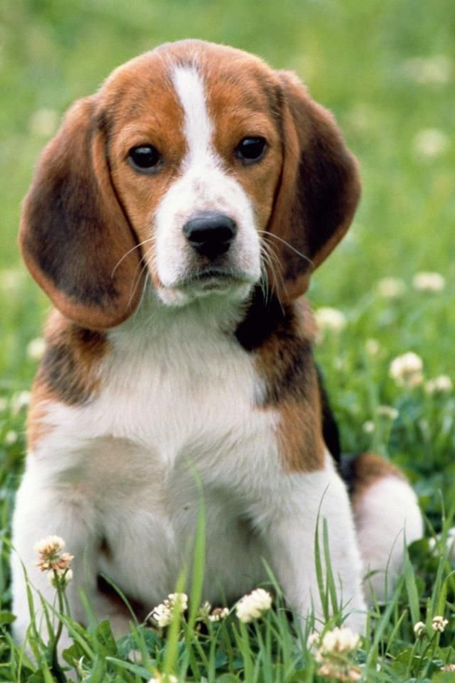 Beagle Hound Photo Iphone Beagle English Animal Background I