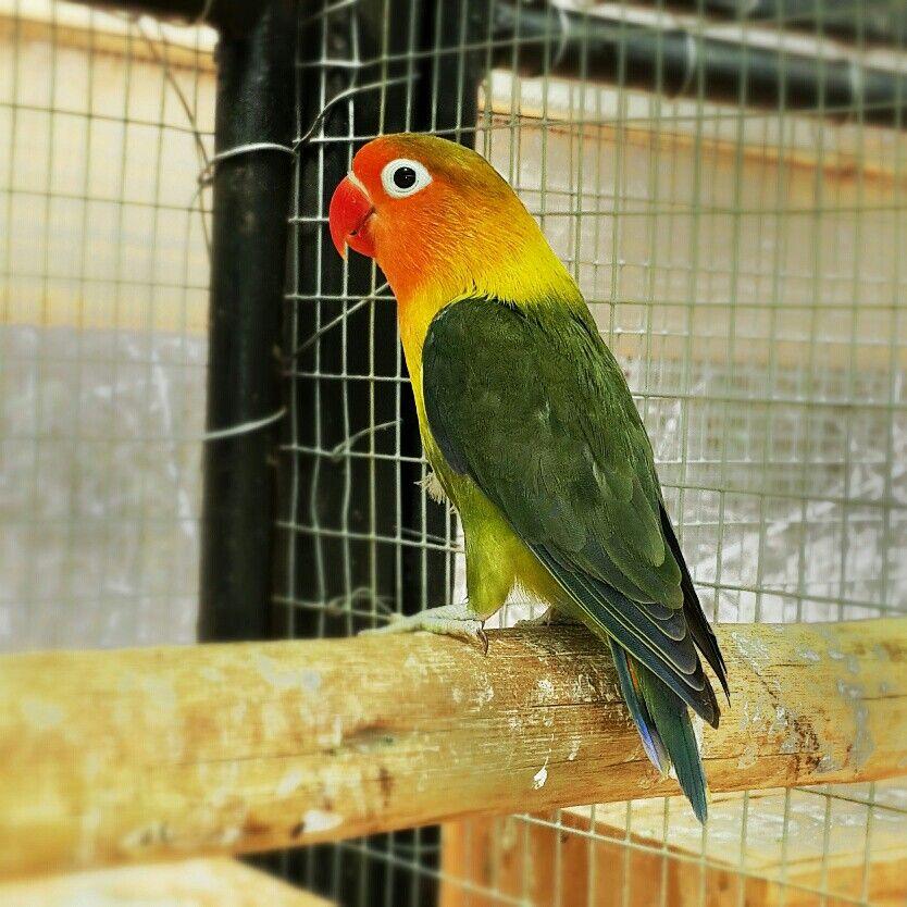 Dd green violet pied fischer african lovebirds parrot