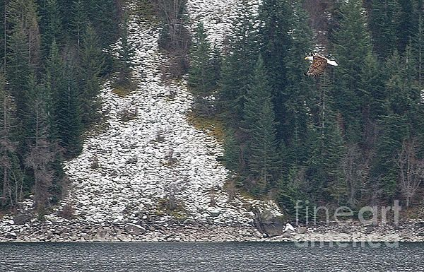 Bald Eagle visit Northern Idaho every winter to feed on the Kokanee Salmon, plentiful to this area. This magnificent bird was photographed on Lake Pend Oreille Idaho.   New images added to SEImagesonline