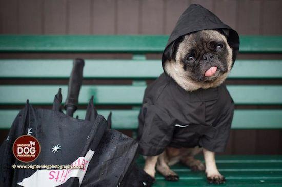 Brighton Dog Photography Effy Mops Hund Mops Tiere Hund
