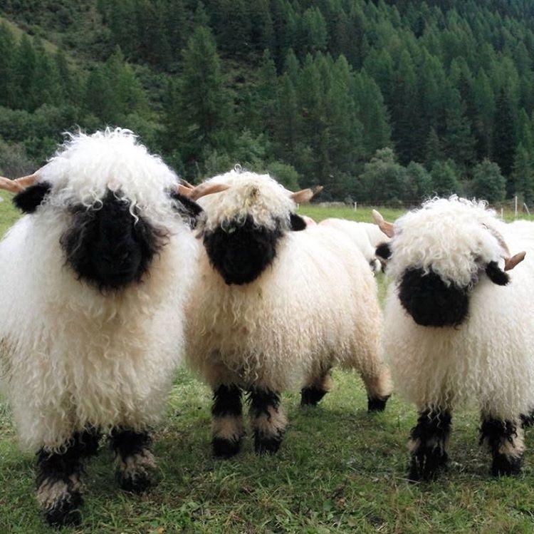 Make moves. Valais blacknose sheep