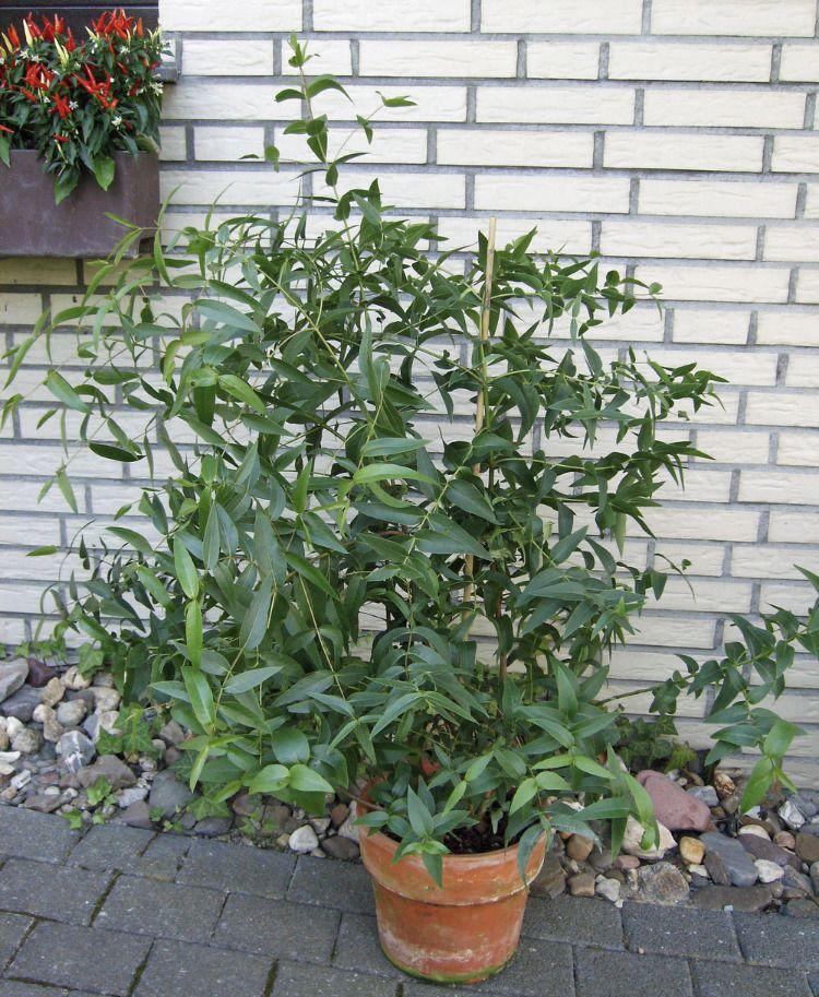 mostgummi eukalyptus pinnwand k belpflanzen eucalyptus pflanze und exotische pflanzen