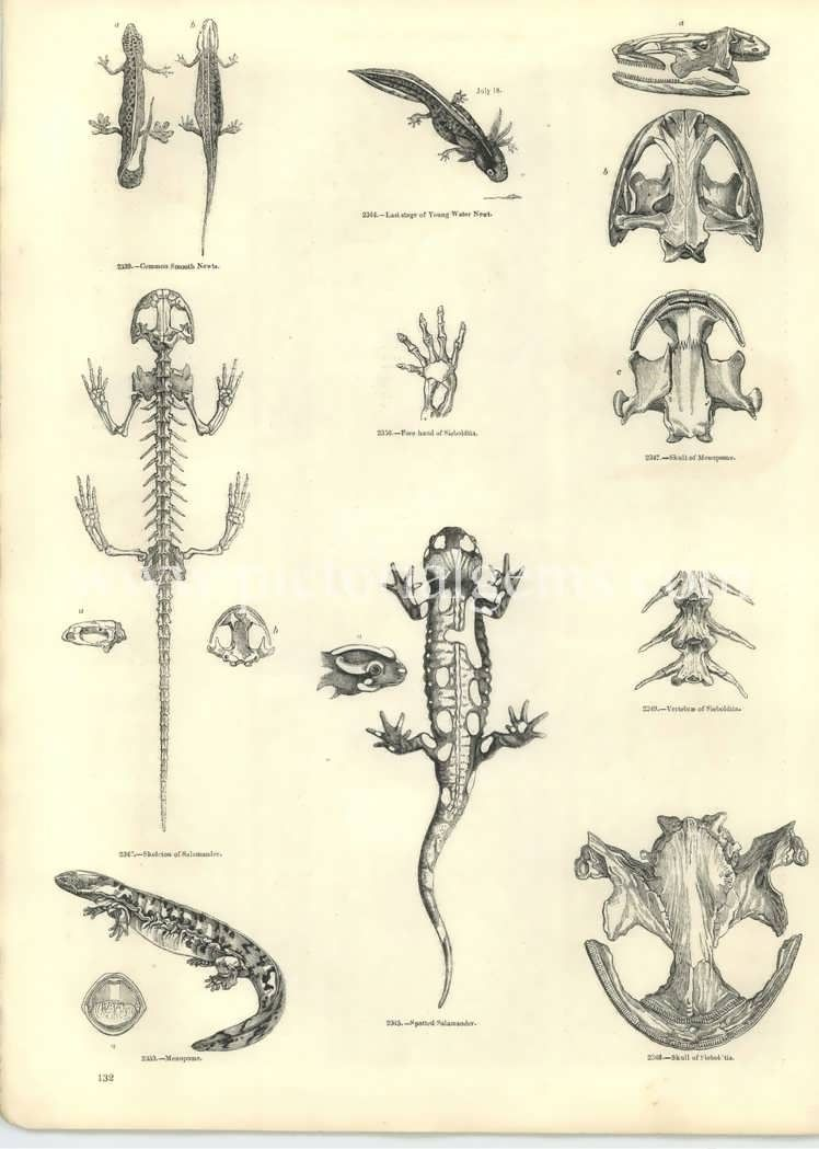 Lizard anatomy reference. Sketches of the anatomy of salamanders I ...