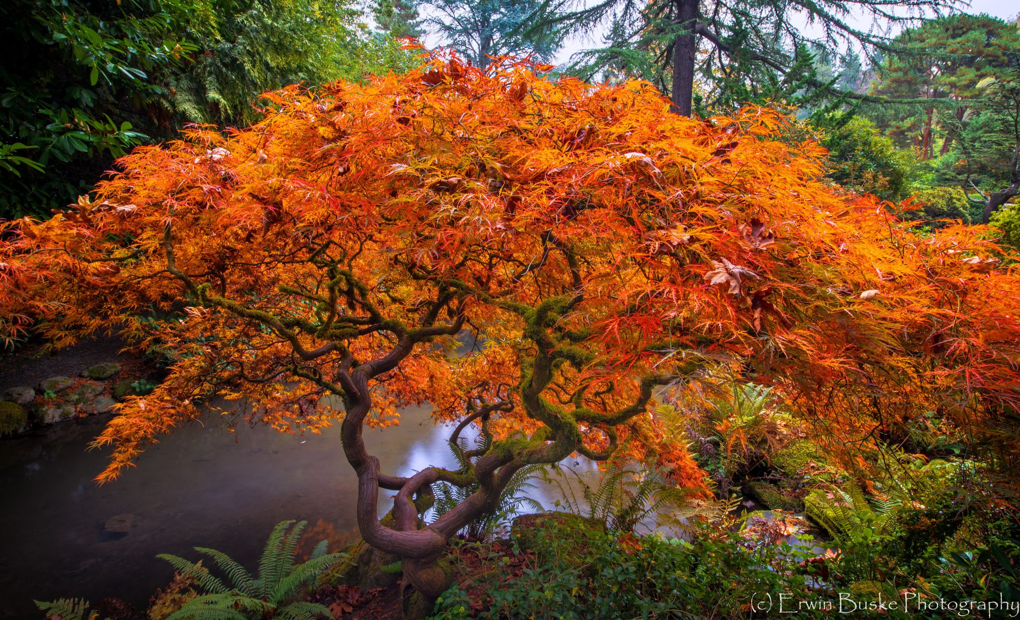 A gorgeous Splitleaf Japanese Maple in all its Fall glory ... near a ...