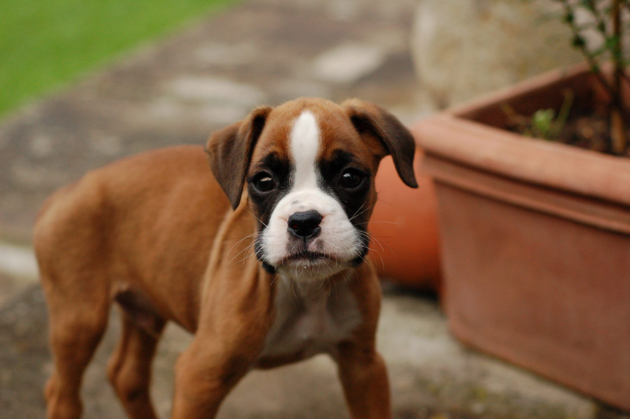 The Stocky Middleweight Sportsman Of Dogdom The Boxer Is Known